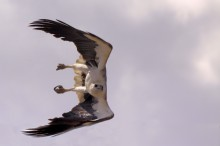 image of a White bellied sea eagle in a dive