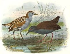 Image of On left: Marsh Crake. On right: Spotless Crake Porzana tabuensis plumbea. (Photo credit: Wikipedia)