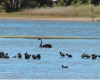 Black swans at Wamberal Lagoon